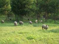 Farm_animals_011